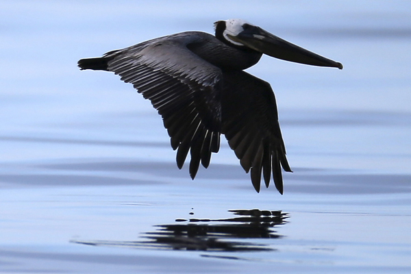 A bird covered in oil flies over an oil slick along the coast of Refugio State Beach in Goleta, California, United States, May 20, 2015. A pipeline ruptured along the scenic California coastline on Tuesday, spilling some 21,000 gallons (79,000 liters) of oil into the ocean and on beaches before it could be secured, a U.S. Coast Guard spokeswoman said. REUTERS/Lucy Nicholson - RTX1DUBH