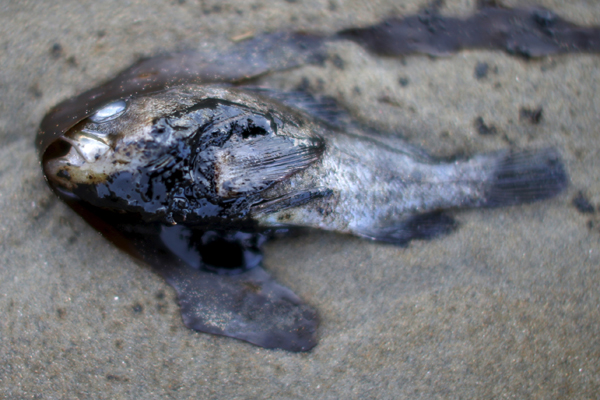 A fish covered in oil is seen along the coast of Refugio State Beach in Goleta, California, United States, May 20, 2015. A pipeline ruptured along the scenic California coastline on Tuesday, spilling some 21,000 gallons (79,000 liters) of oil into the ocean and on beaches before it could be secured, a U.S. Coast Guard spokeswoman said. REUTERS/Lucy Nicholson - RTX1DTXG