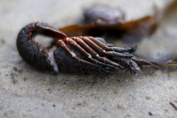 A shrimp covered in oil is seen along the coast of Refugio State Beach in Goleta, California, United States, May 20, 2015. A pipeline ruptured along the scenic California coastline on Tuesday, spilling some 21,000 gallons (79,000 liters) of oil into the ocean and on beaches before it could be secured, a U.S. Coast Guard spokeswoman said. REUTERS/Lucy Nicholson - RTX1DUBI