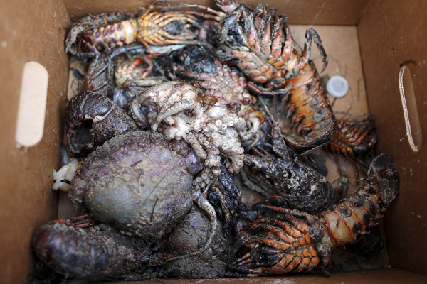 A clean up worker holds a box of sea creatures killed by an oil slick along the coast of Refugio State Beach in Goleta, California, United States, May 21, 2015. As much as 2,500 barrels (105,000 gallons) of crude oil, according to latest estimates, gushed onto San Refugio State Beach and into the Pacific west of Santa Barbara when an underground pipeline running parallel to a coastal highway there inexplicably burst on Tuesday morning. REUTERS/Lucy Nicholson - RTX1E1I1