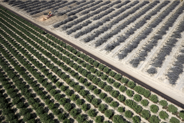 A field of dead almond trees is seen next to a field of growing almond trees in Coalinga in the Central Valley, California, United States May 6, 2015. Almonds, a major component of farming in California, use up some 10 percent of the state's water reserves according to some estimates. California ranks as the top farm state by annual value of agricultural products, most of which are produced in the Central Valley, the vast, fertile region stretching 450 miles (720 km) north-sound from Redding to Bakersfield. California water regulators on Tuesday adopted the state's first rules for mandatory cutbacks in urban water use as the region's catastrophic drought enters its fourth year. Urban users will be hardest hit, even though they account for only 20 percent of state water consumption, while the state's massive agricultural sector, which the Public Policy Institute of California says uses 80 percent of human-related consumption, has been exempted. REUTERS/Lucy Nicholson - RTX1BWMI